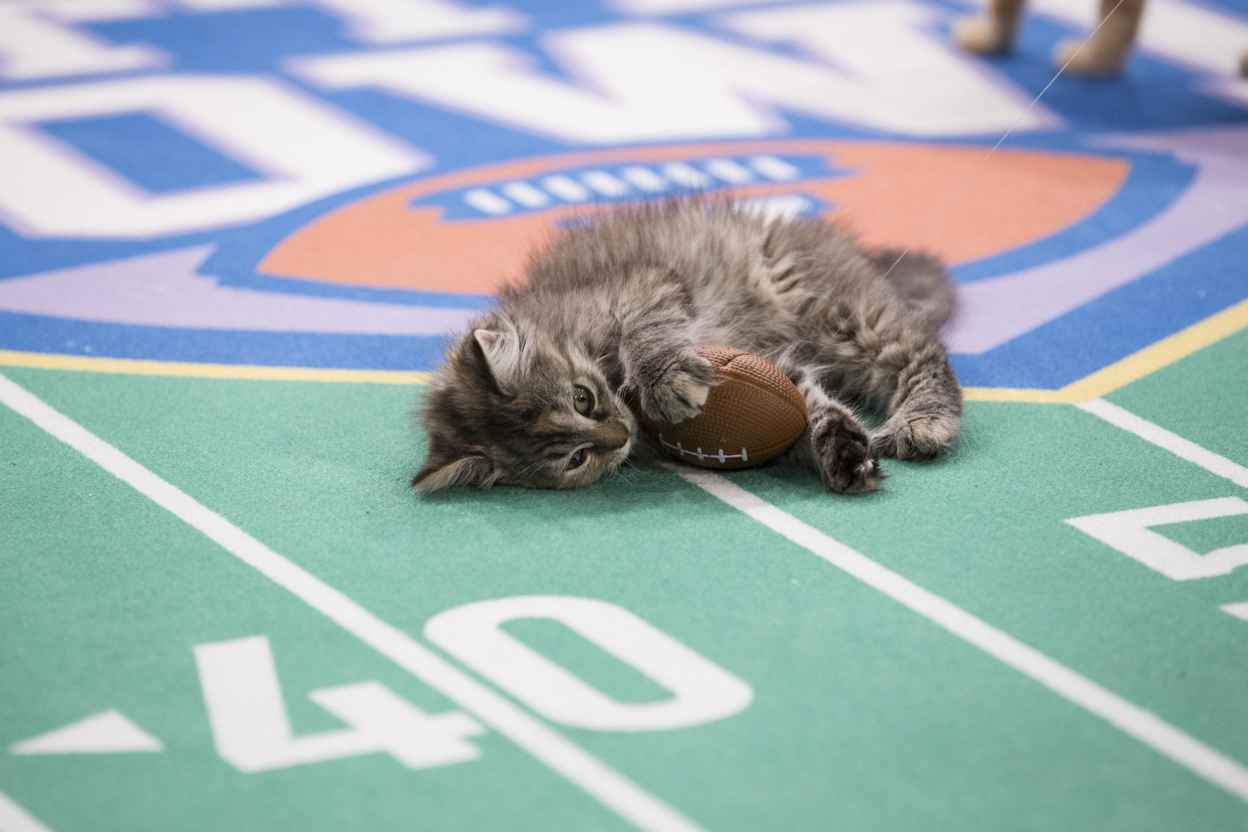 Kitten Bowl V Mvk Winner Kitten Bowl V