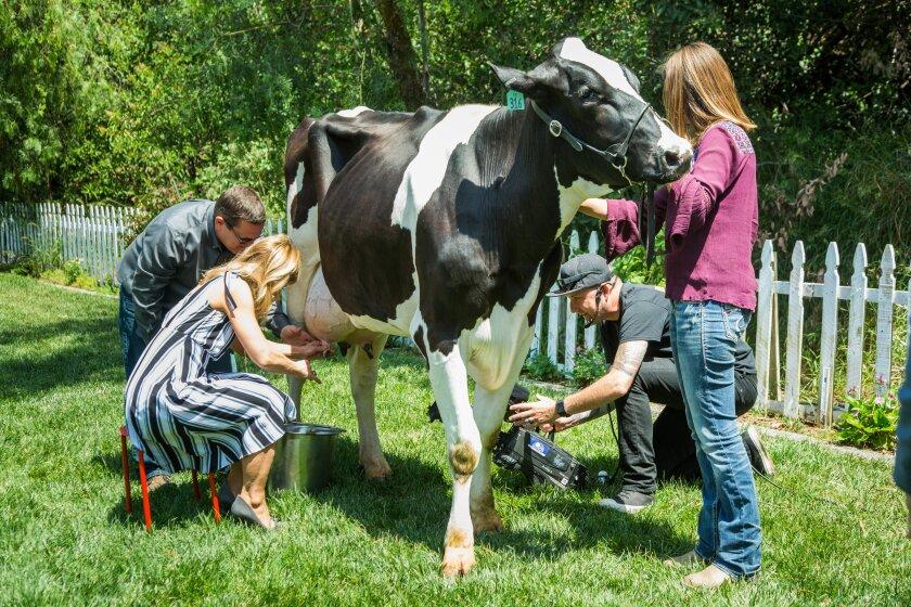 hf5175-recap-cow.jpg