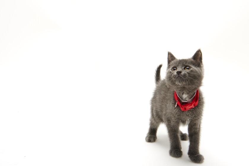 Kitten Bowl IV Photos - Boomer's Bobcats - 1