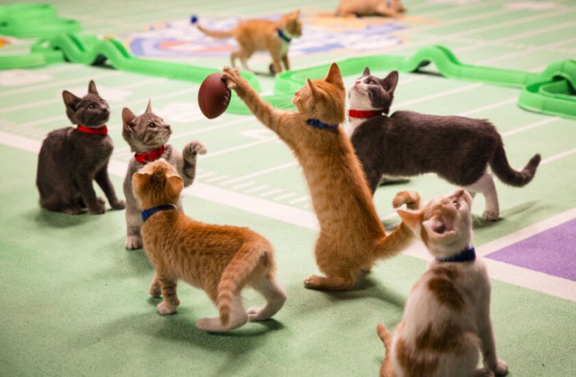 11-KittenBowl2_001062.jpg