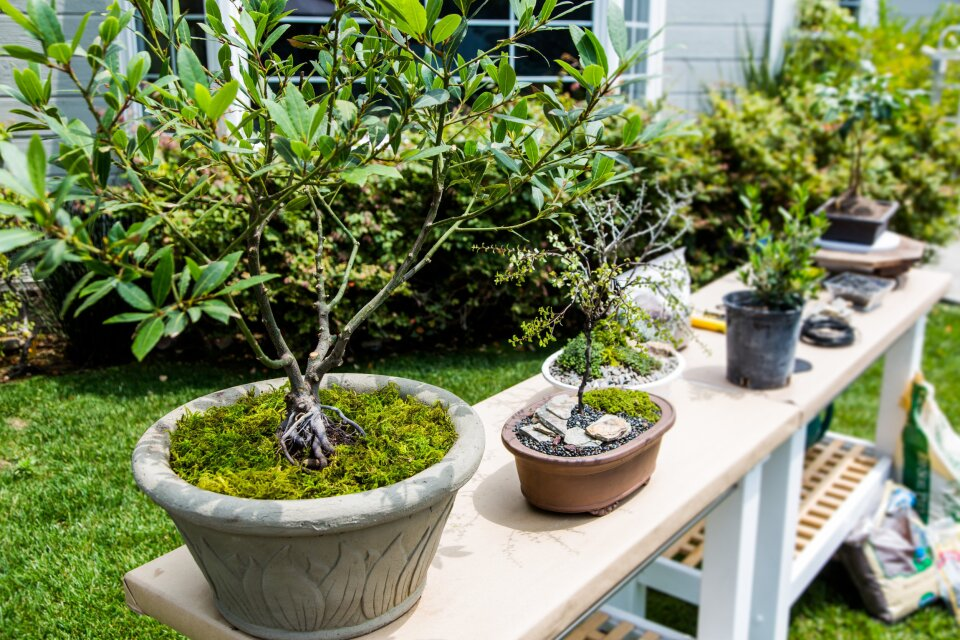 hf3191-product-bonsai.jpg