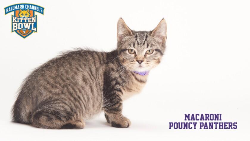meet-the-kittens-KBV-PP-Macaroni.jpg