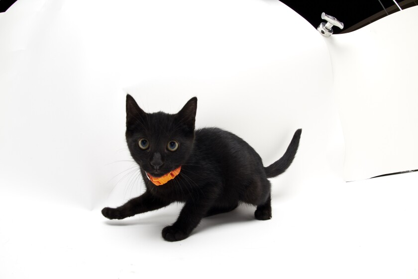 Kitten Bowl IV Photos - Home & Family Felines - 9