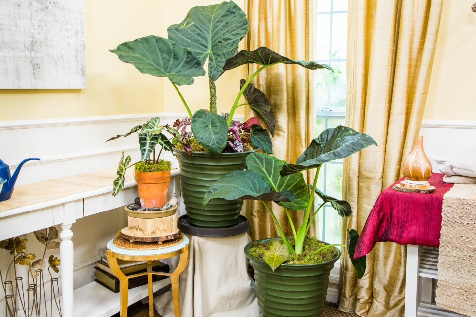 How to Care for Indoor Elephant Ear Plants