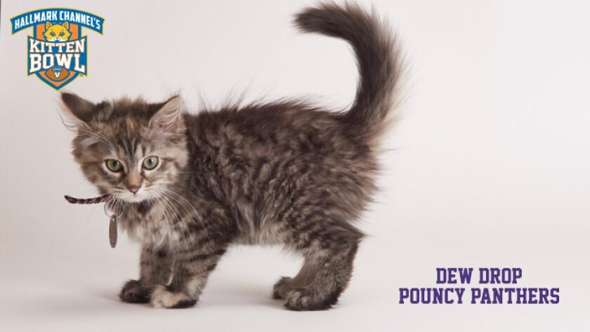meet-the-kittens-KBV-PP-Dew-Drop.jpg