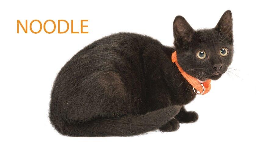Kitten Bowl IV Meet the Kittens - Home & Family Felines - Noodle