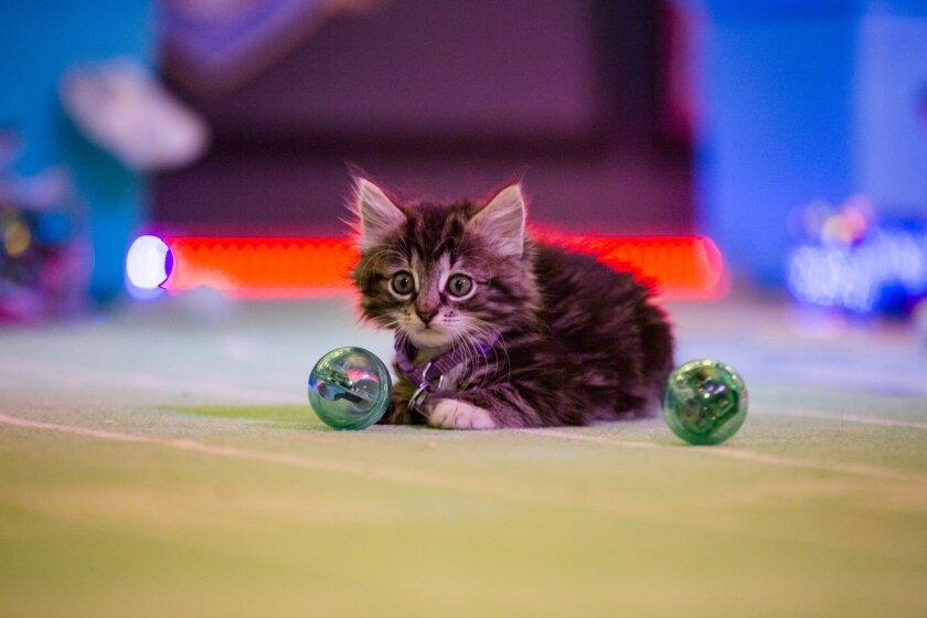 KittenBowl3_2311r.jpg