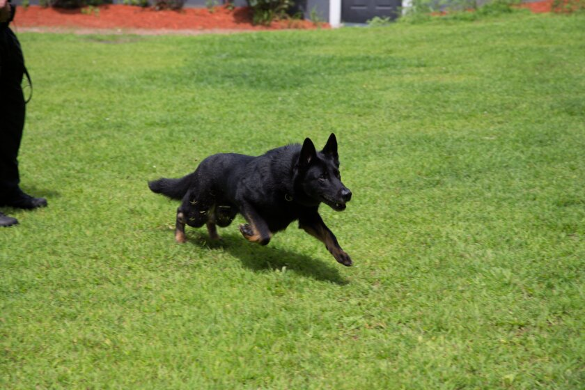 Law Enforcement Dogs Category - Dax