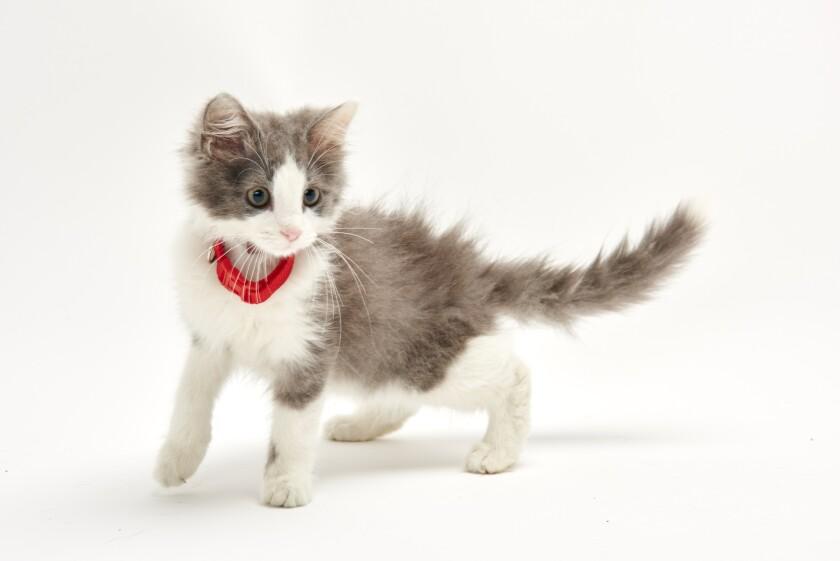 Kitten Bowl IV Photos - Boomer's Bobcats - 2