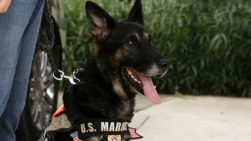 Military Dogs Category - Rambo