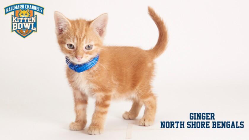 meet-the-kittens-KBV-NSB-Ginger.jpg