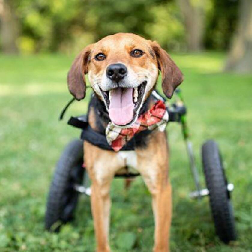 American Humane Hero Dog Awards 2021 Finalist - Boone