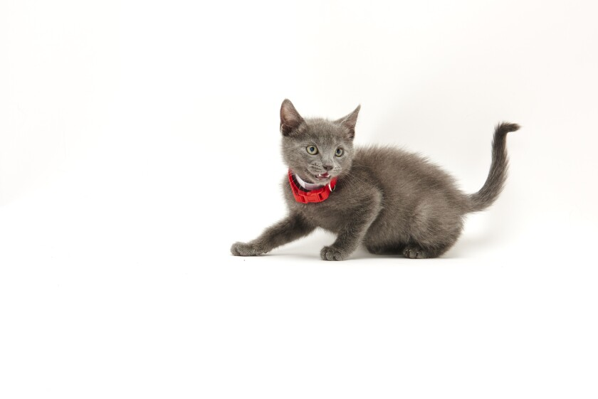 Kitten Bowl IV Photos - Boomer's Bobcats - 4