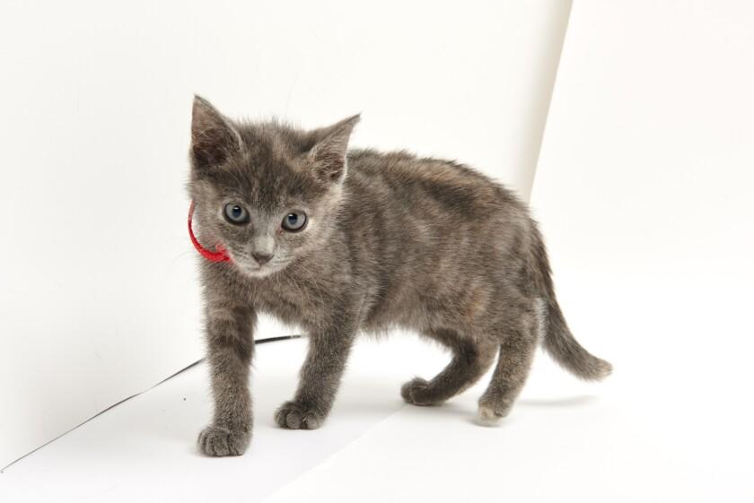 Kitten Bowl IV Photos - Boomer's Bobcats - 3