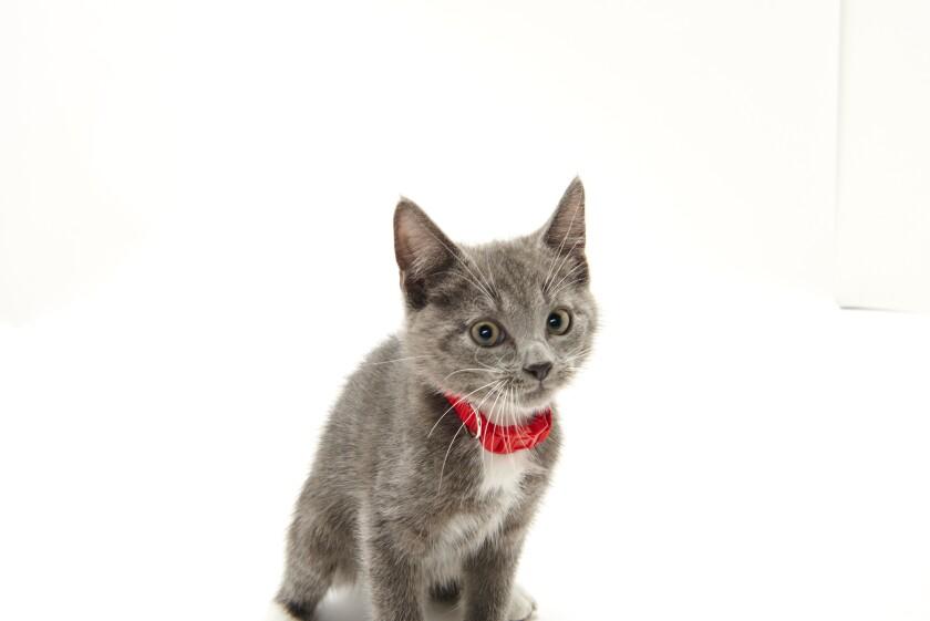 Kitten Bowl IV Photos - Boomer's Bobcats - 8
