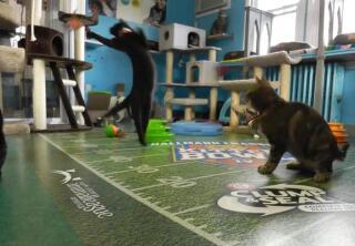 Kitten Cam Highlights - Sky High Training - Kitten Bowl IV