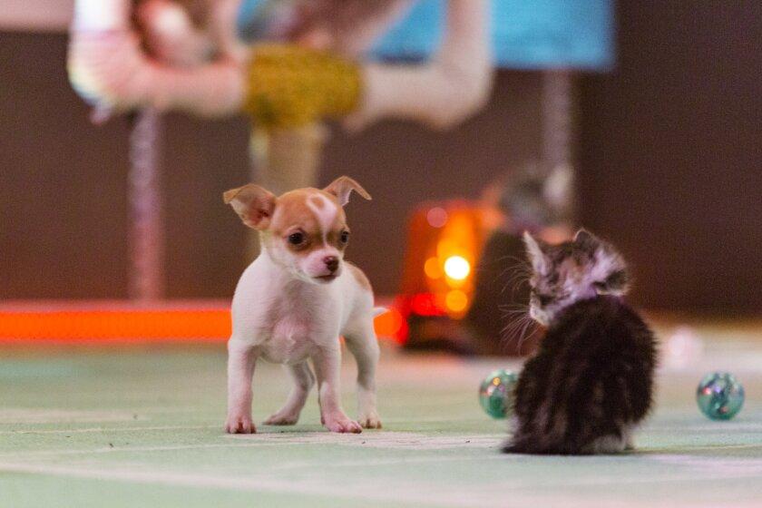 Kitten Bowl III Photo 6 - Halftime