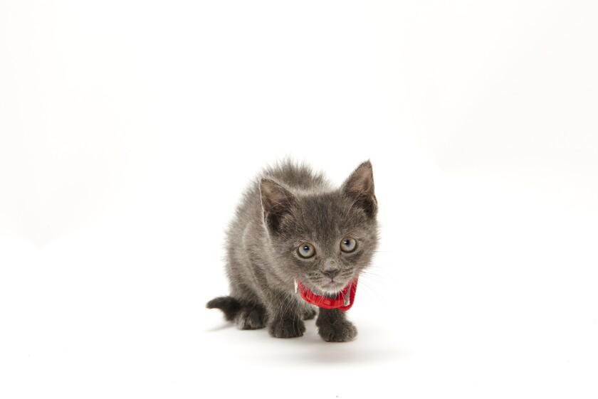 Kitten Bowl IV Photos - Boomer's Bobcats - 7