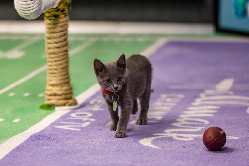 Kitten Bowl III Photo Gallery 20