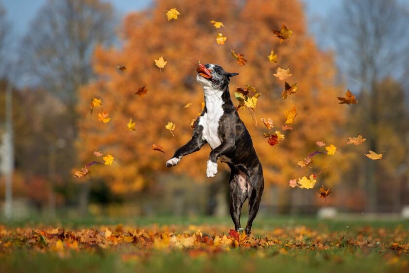 Happy Dog Jumping Up Catching Falling Leaves In The Park
