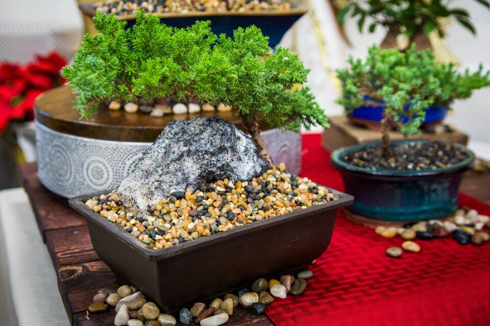 hf7049-product-bonsai.jpg
