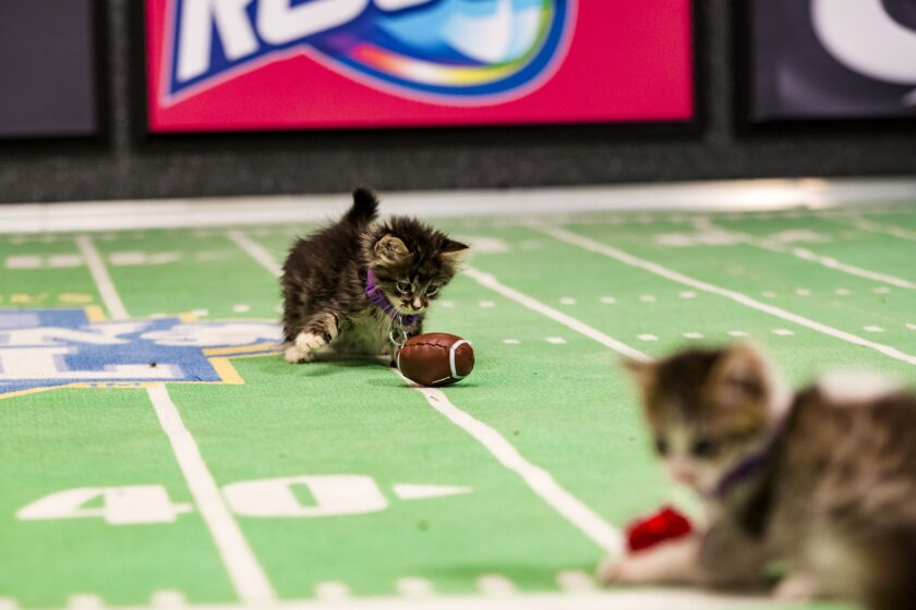 Kitten Bowl III Photo Gallery 22