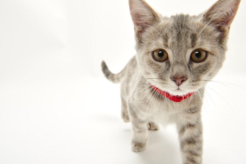Kitten Bowl IV Photos - Boomer's Bobcats - 6