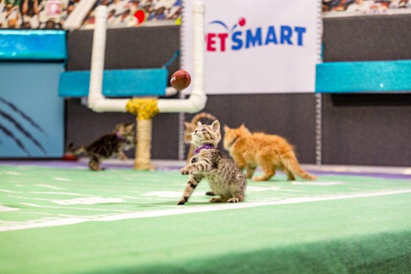 Kitten Bowl III Photo Gallery 4