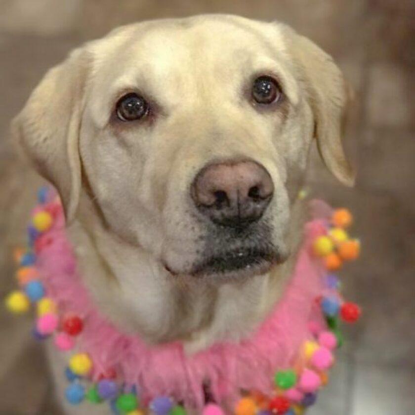 American Humane Hero Dog Awards 2018 Finalist - Frances - Guide/Hearing